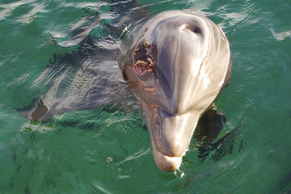 Bottlenose dolphin (Tursiops truncatus) in a sea pen. Red Sea. Captive - 945-2