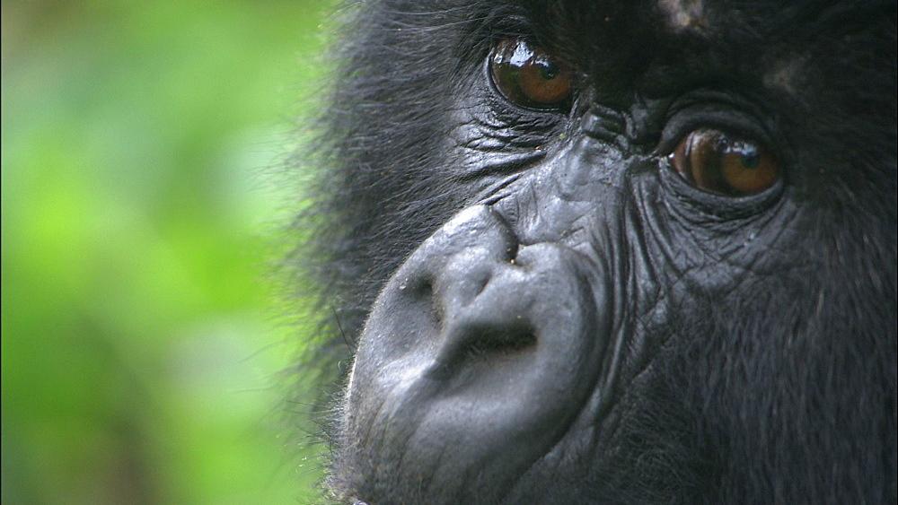 Mountain gorilla (Gorilla gorilla beringei). Endangered. Sub adult. Rwanda. 2009 - 945-201