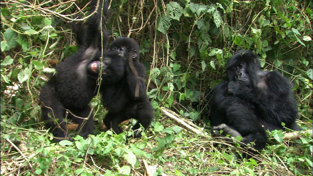 Mountain gorilla (Gorilla gorilla beringei). Endangered. Youngsters play fight. Rwanda. 2009