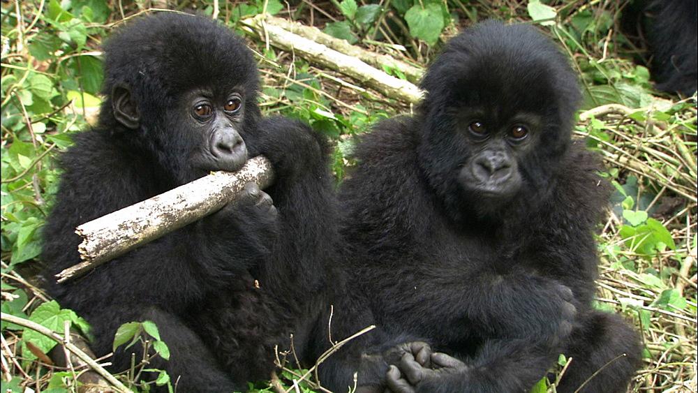 Mountain gorilla (Gorilla gorilla beringei). Endangered. Sub juveniles. Rwanda. 2009