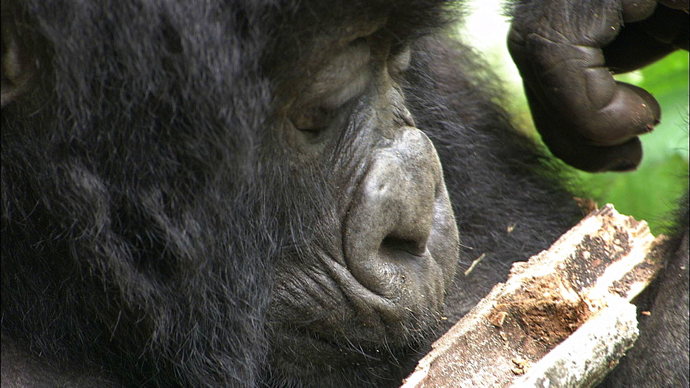 Mountain gorilla (Gorilla gorilla beringei). Endangered. Sub juvenile/youngster feeds. Rwanda. 2009