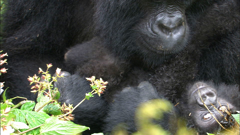 Mountain gorilla (Gorilla gorilla beringei). Endangered. Curly haired baby. Rwanda. 2009
