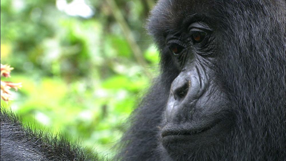 Mountain gorilla (Gorilla gorilla beringei). Endangered. Adult female grooms baby. Rwanda. 2009