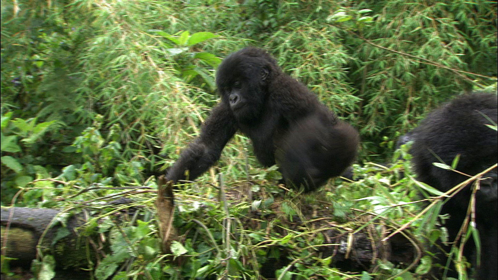 Mountain gorilla (Gorilla gorilla beringei). Endangered. Juvenile invites other to play. Rwanda. 2009
