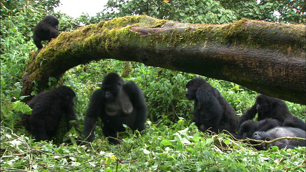 Mountain gorilla (Gorilla gorilla beringei). Endangered.  Juvenile on branch over family group. Rwanda. 2009