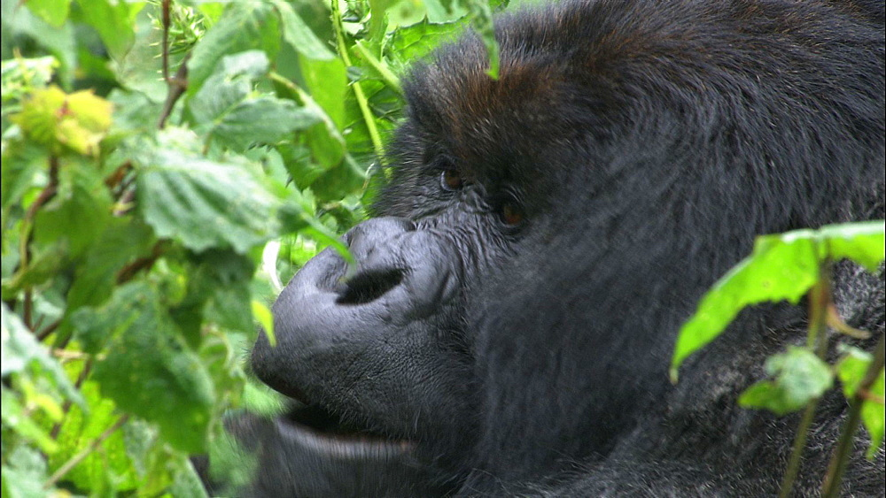 Mountain gorilla (Gorilla gorilla beringei). Endangered. Silverback and females. Rwanda. 2009