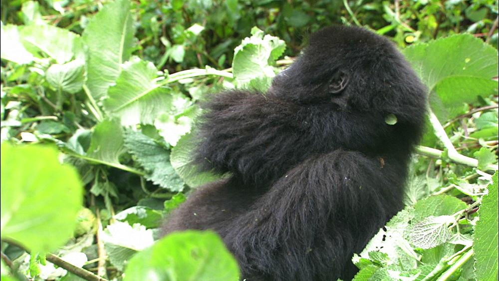 Mountain gorilla (Gorilla gorilla beringei). Endangered. Juvenile. Rwanda. 2009