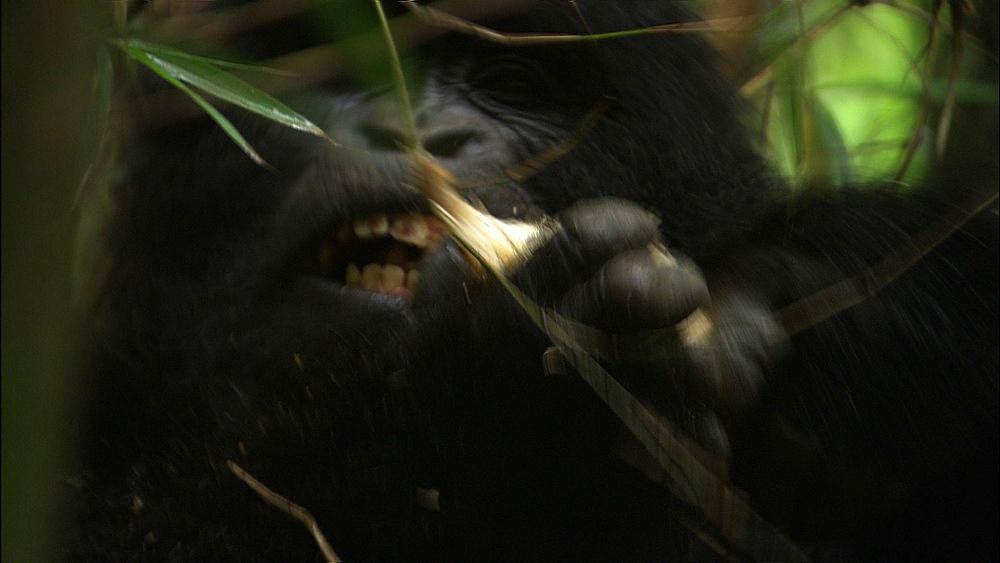 Mountain gorilla (Gorilla gorilla beringei). Endangered. Adult feeds. Rwanda. 2009