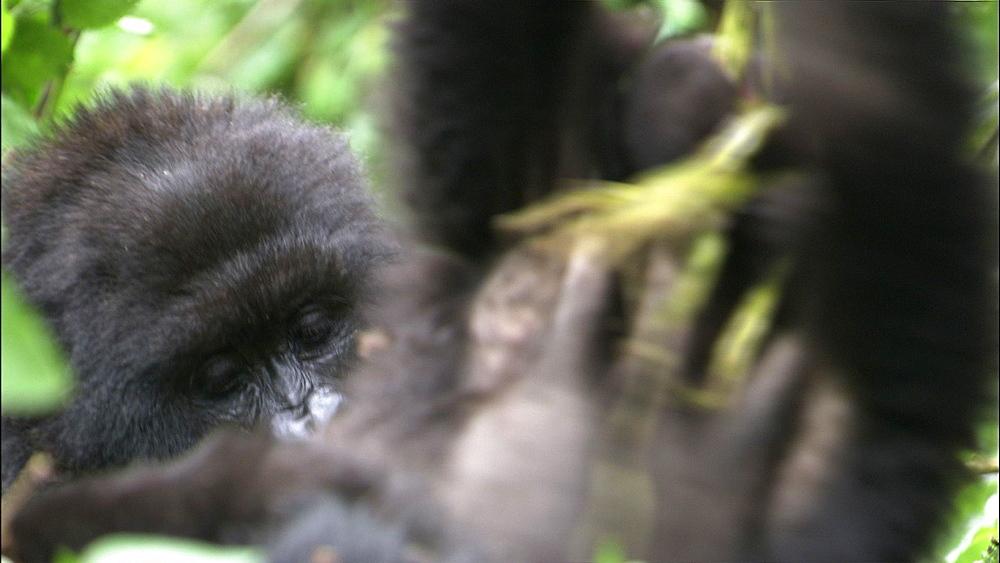Mountain gorilla (Gorilla gorilla beringei). Endangered.  Juveniles play. Rwanda. 2009 - 945-260