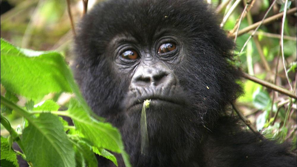 Mountain gorilla (Gorilla gorilla beringei). Endangered.  Juvenile portrait. Rwanda. 2009 - 945-261