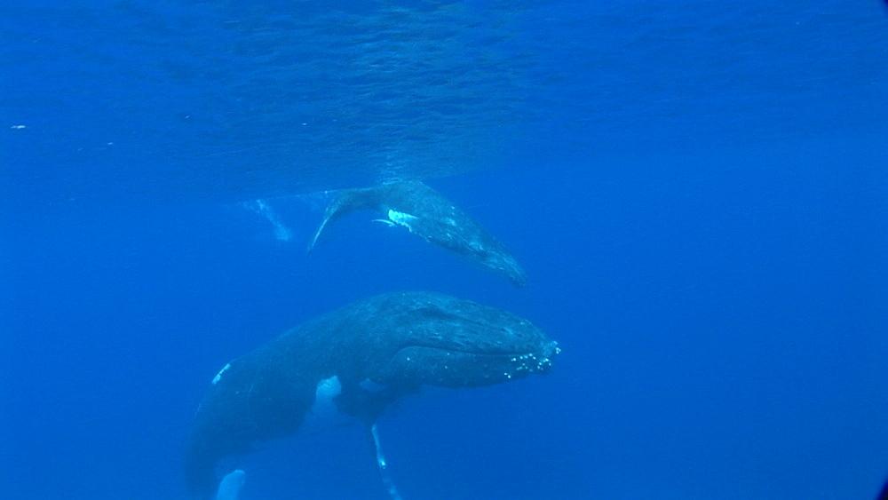 Humpback whales (Megaptera novaeangliae), mother and calf. Tonga. South Pacific - 945-272