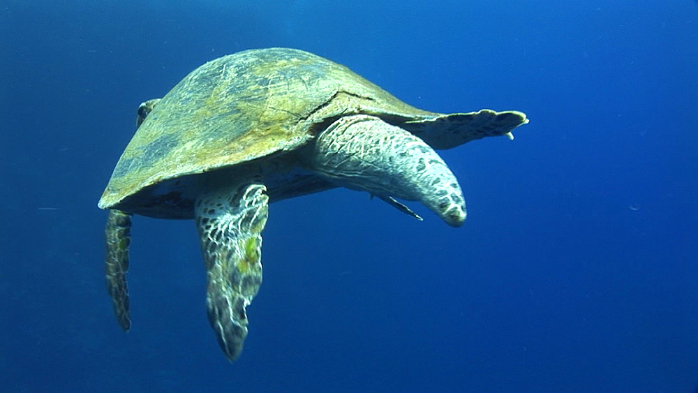 Green turtle (Chelonia mydas). Endangered species. swims. Red Sea - 945-276