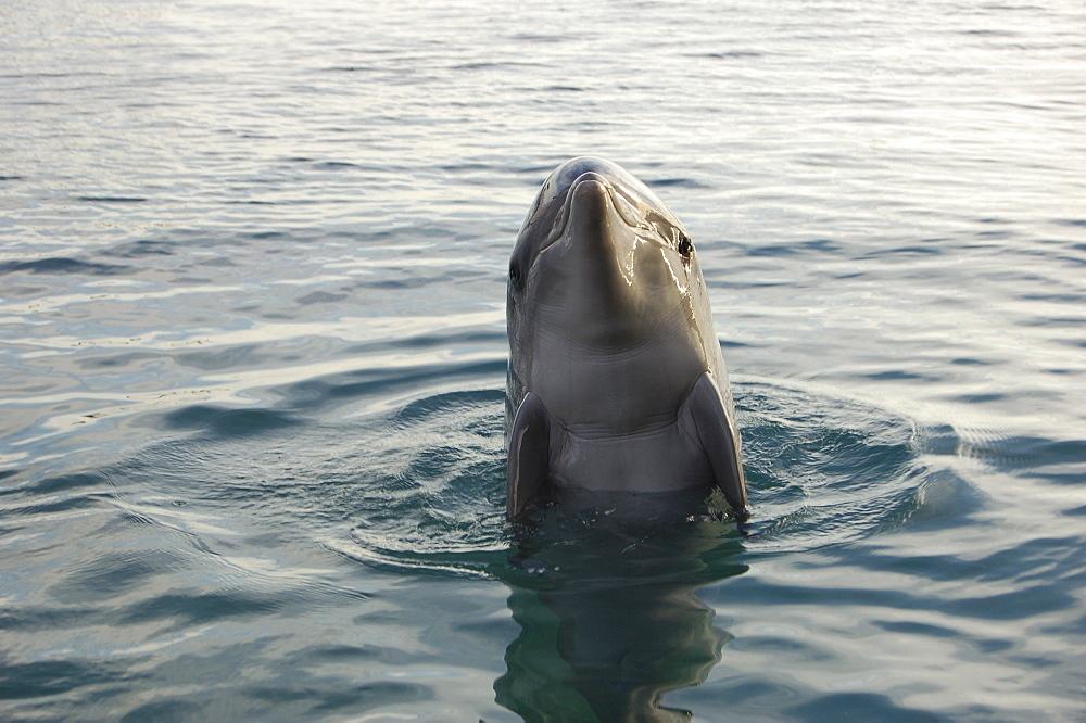 Bottlenose dolphin (Tursiops truncatus) in a sea pen. Red Sea. Captive - 945-3