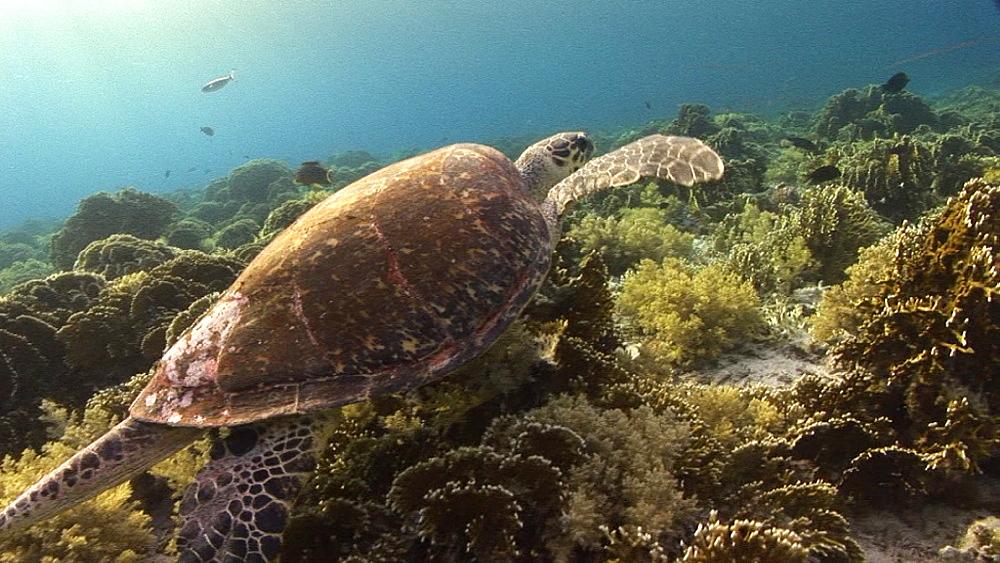 Hawksbill turtle (Eretmochelys imbricata). Endangered species. swims. Red Sea - 945-321