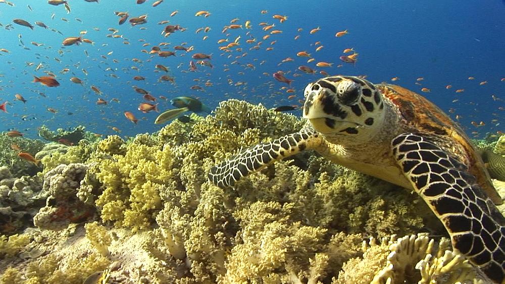 Hawksbill turtle (Eretmochelys imbricata). Endangered species. feeding. Red Sea - 945-328