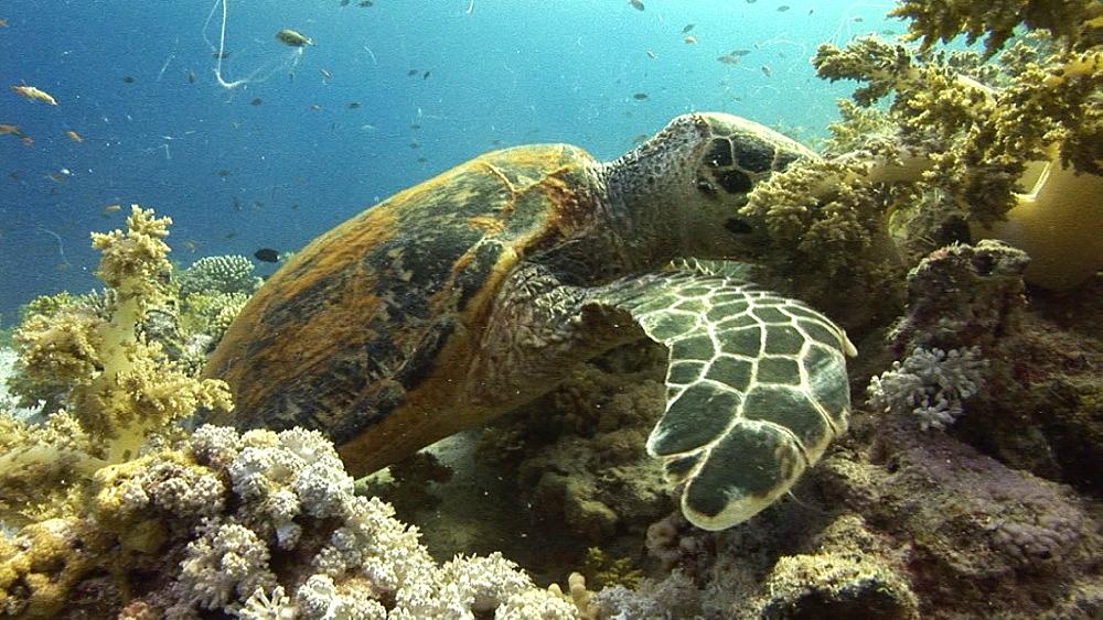 Hawksbill turtle (Eretmochelys imbricata). Endangered species. feeding. Red Sea - 945-469