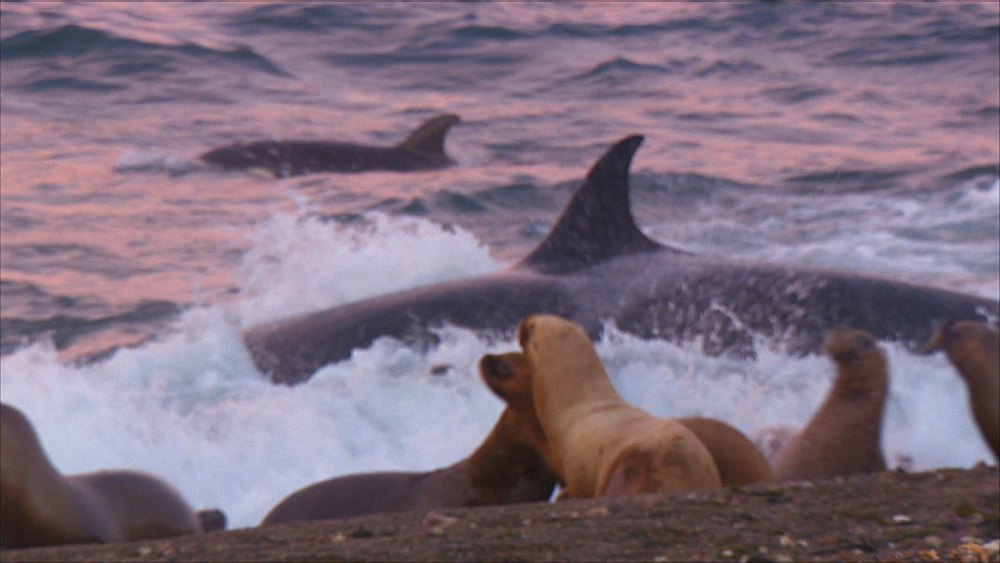 Orca (Orcinus orca) attack in shallow water (some focus issues at time), Patagonian sea lion (Otaria flavescens) creche on beach in foreground, they react. Predation behaviour. Punta Norte, Valdez Peninsula, Patagonia, Argentina