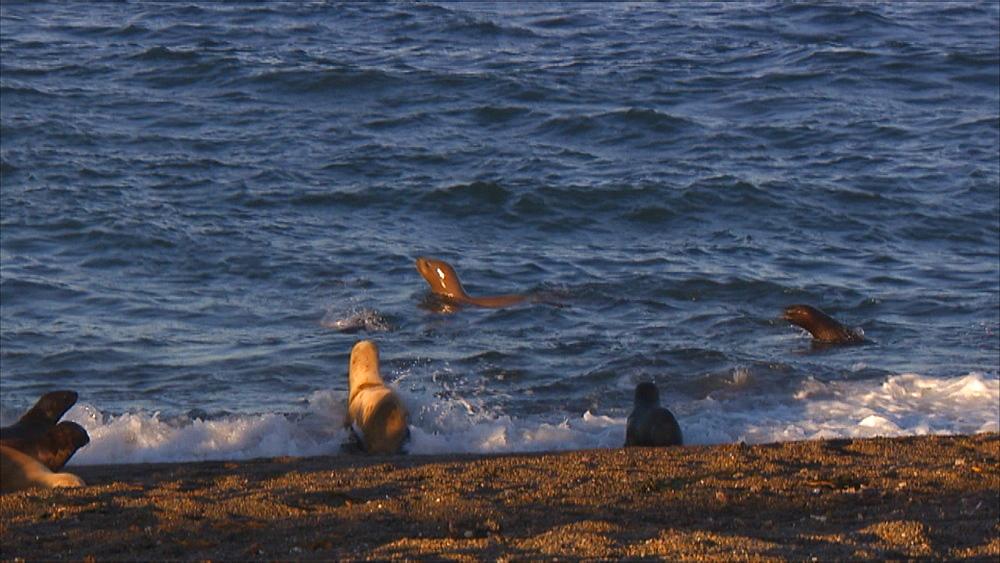 Patagonian sea lion (Otaria flavescens) females in surf. Punta Norte, Valdez Peninsula, Patagonia, Argentina