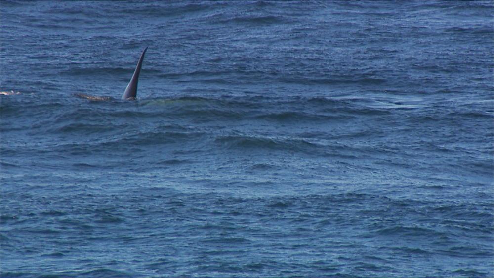 Orca (Orcinus orca) dorsal fin through water and surfacing. Punta Norte, Valdez Peninsula, Patagonia, Argentina