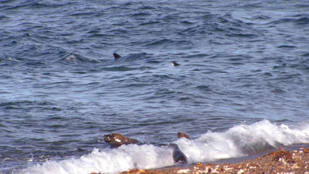 Orca (Orcinus orca) in shallow water and Patagonian sea lions (Otaria flavescens) in surf. Predation behaviour. Punta Norte, Valdez Peninsula, Patagonia, Argentina