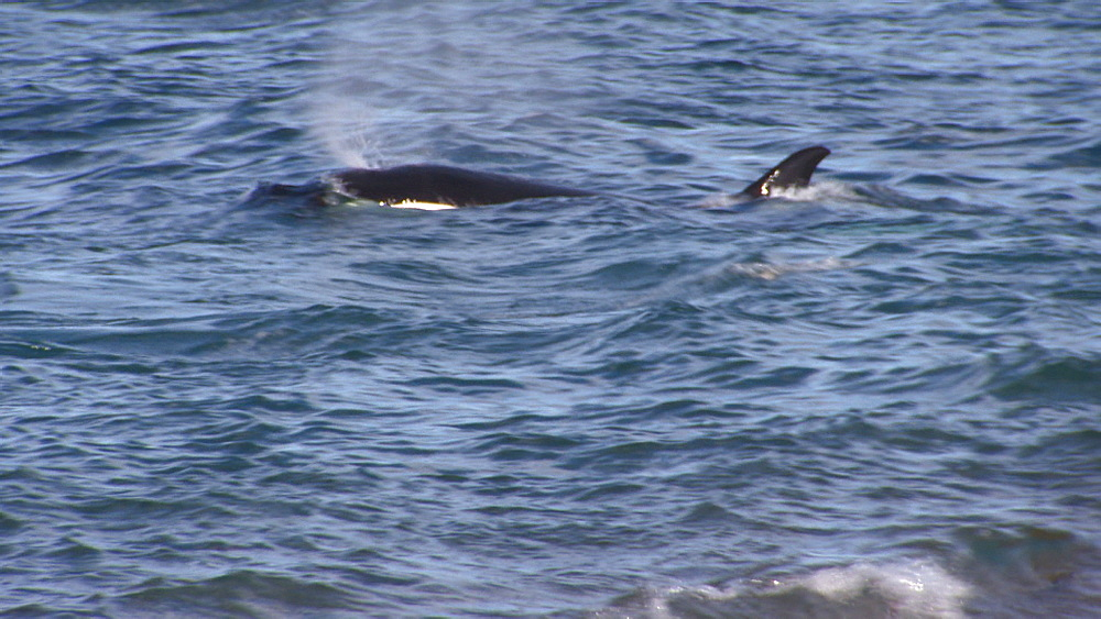 Orca (Orcinus orca) surfacing in shallow water. Punta Norte, Valdez Peninsula, Patagonia, Argentina