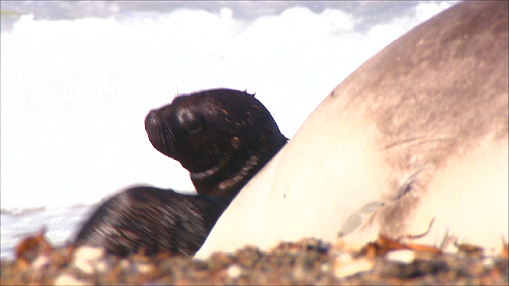 Patagonian sea lion (Otaria flavescens) pups on beach in colony. Punta Norte, Valdez Peninsula, Patagonia, Argentina