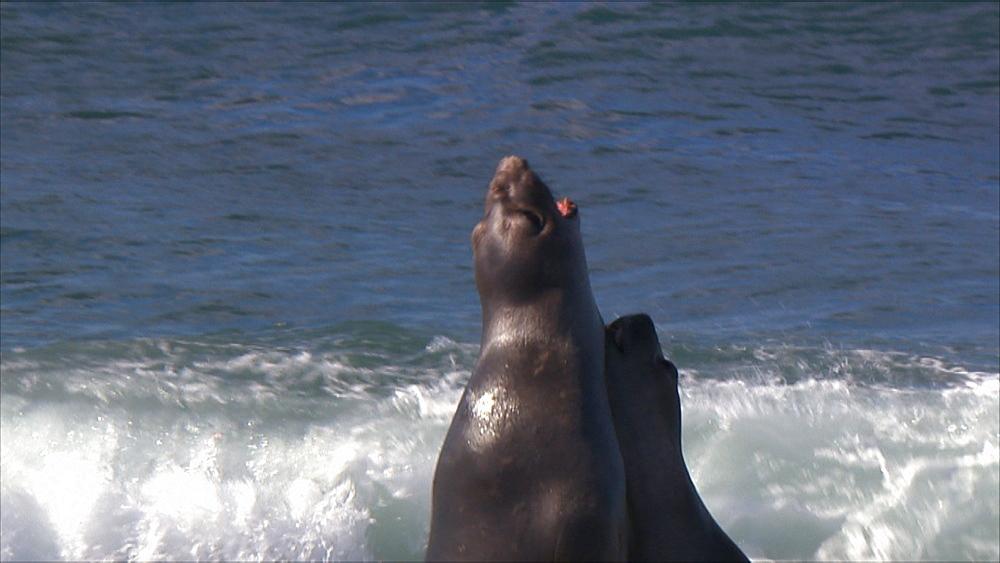 Southern elephant seal (Mirounga leonina) juvenile males fight. Punta Norte, Valdez Peninsula, Patagonia, Argentina