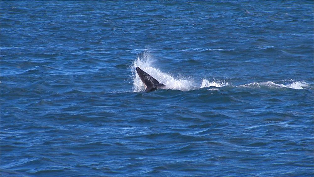 Orca (Orcinus orca) play behaviour with captured Patagonian sea lion (Otaria flavescens). Predation behaviour and learning (play) behaviour. Punta Norte, Valdez Peninsula, Patagonia, Argentina