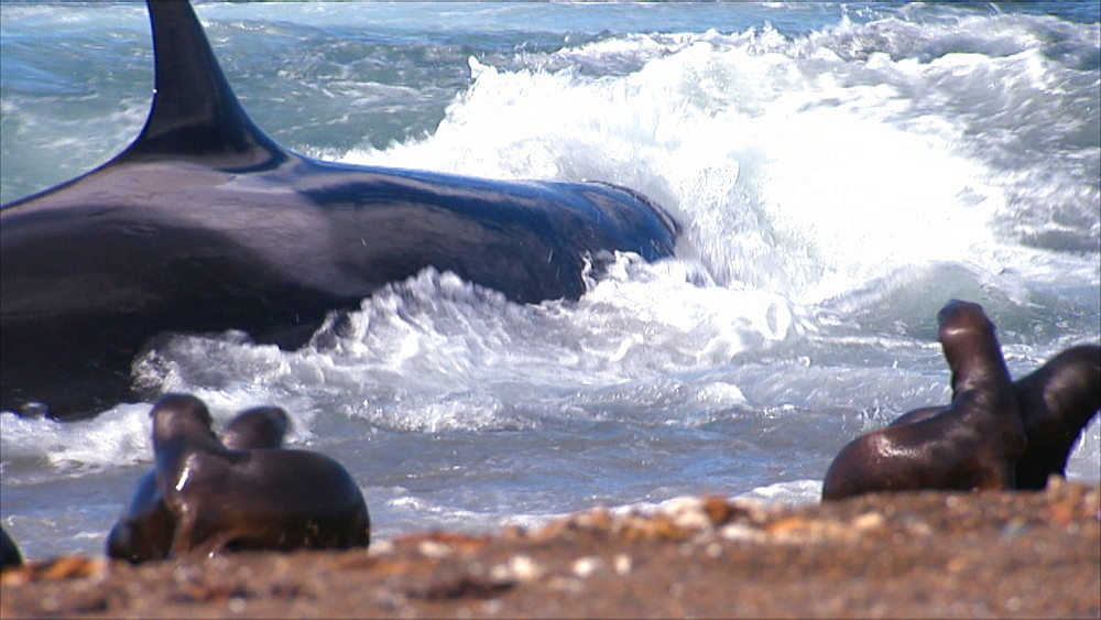 Orca (Orcinus orca) thrashing about in shallow water after stranding, Patagonian sea lion (Otaria flavescens) pups on beach in foreground. Predation behaviour. Punta Norte, Valdez Peninsula, Patagonia, Argentina - 945-603