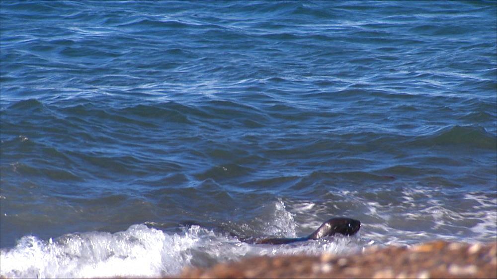 Lone Patagonian sea lion (Otaria flavescens) pup in surf. Punta Norte, Valdez Peninsula, Patagonia, Argentina - 945-622