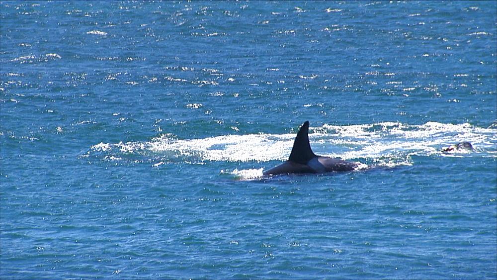 Orca (Orcinus orca) pod cavort with captured Patagonian sea lion (Otaria flavescens) offshore. Predatory behaviour, play/learning behaviour. Punta Norte, Valdez Peninsula, Patagonia, Argentina