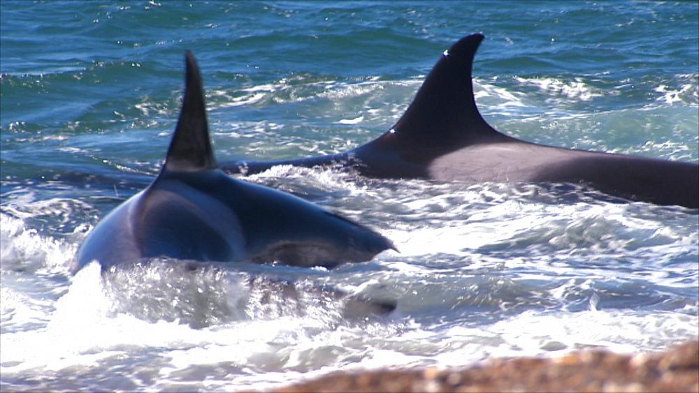 Orca (Orcinus orca) pair moving through shallows and stranding. Predatory behaviour. Punta Norte, Valdez Peninsula, Patagonia, Argentina