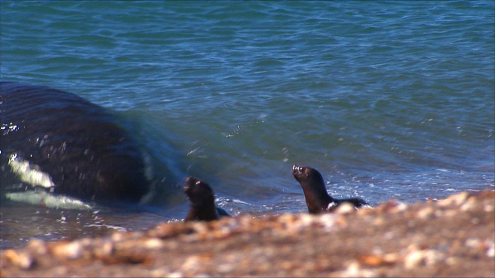 Patagonian sea lion (Otaria flavescens) pups in shallows, successful Orca (Orcinus orca) attack. Predation behaviour. Punta Norte, Valdez Peninsula, Patagonia, Argentina - 945-649