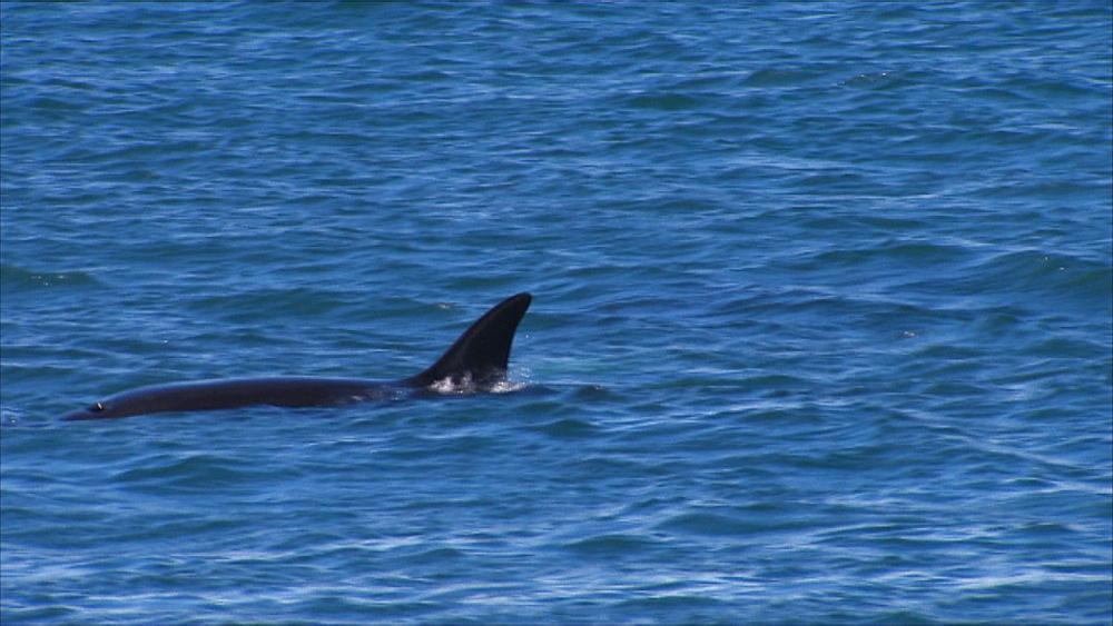 Orca (Orcinus orca) surfaces. Punta Norte, Valdez Peninsula, Patagonia, Argentina