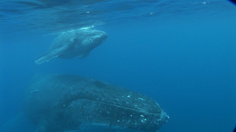 Humpback whales (Megaptera novaeangliae), mother and calf.  Tonga. South Pacific - 945-698