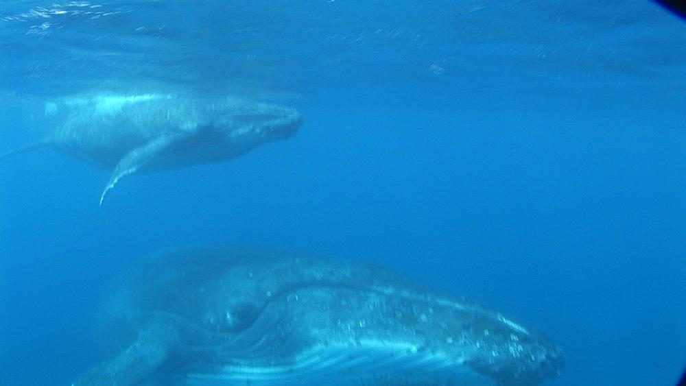 Humpback whales (Megaptera novaeangliae), mother and calf.  Tonga. South Pacific