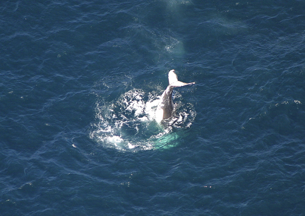 Aerial view of Humpback Whale (Megaptera novaeangliae) tail slapping. Gulf of Maine, USA   (rr) - 947-12