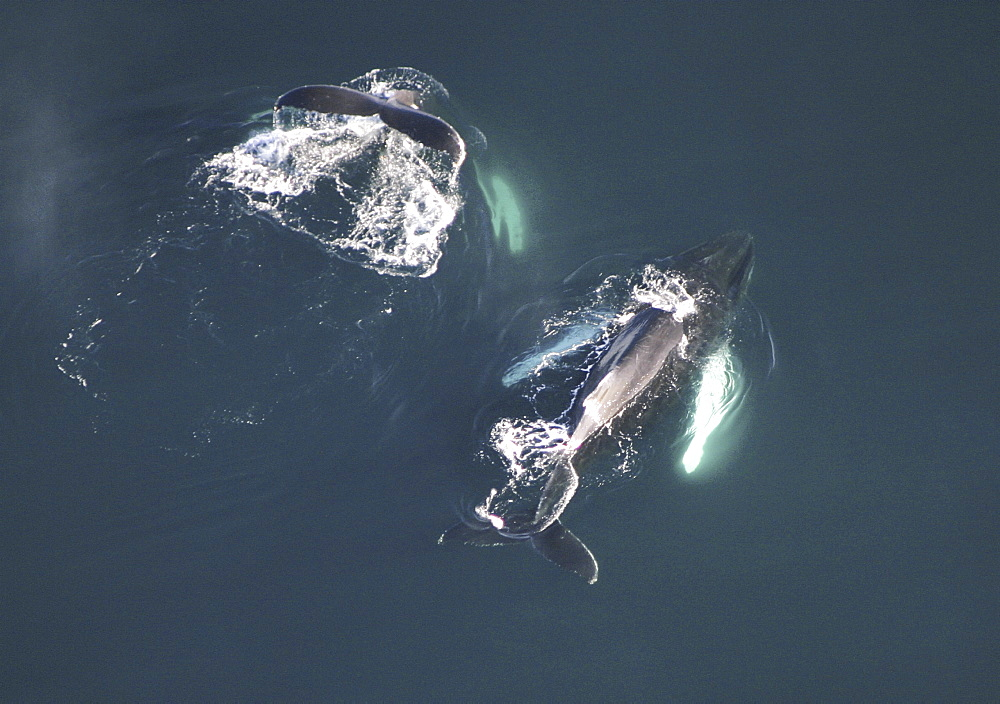 Aerial view of Humpback Whales (Megaptera novaeangliae). Gulf of Maine, USA    (rr) - 947-15