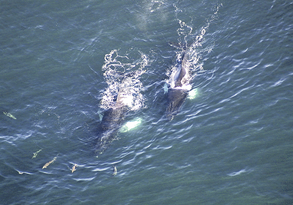 Aerial view of Humpback Whales (Megaptera novaeangliae). Gulf of Maine, USA    (rr) - 947-16