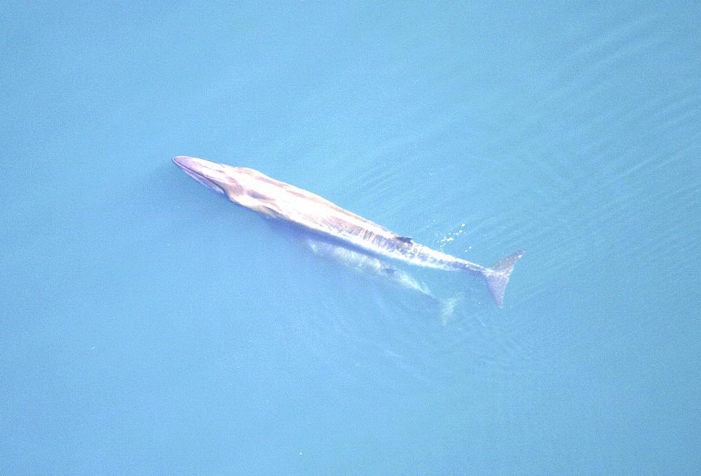 Aerial view of Sei whale (Balaenoptera borealis) with calf. Gulf of Maine, USA   (rr) - 947-24