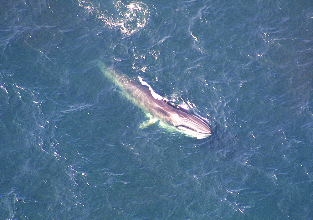 Aerial view of Fin whale (Balaenoptera physalus) surfacing. Gulf of Maine, USA    (rr) - 947-27