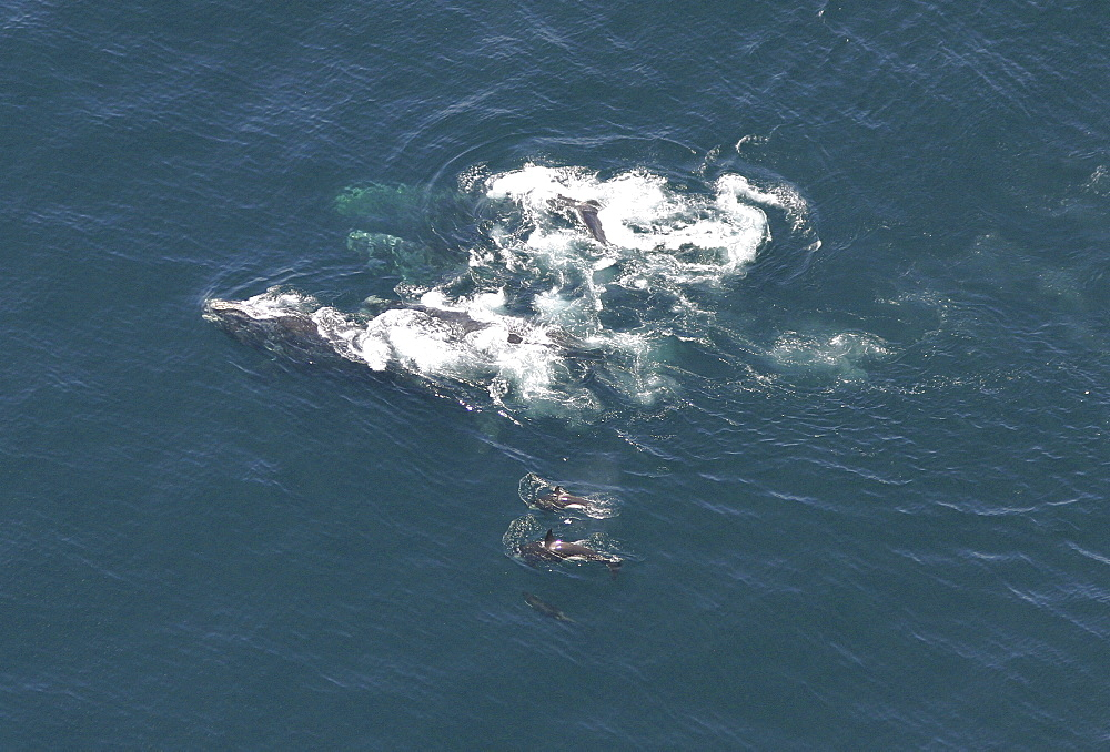 Aerial view of a pod of Killer whales (Orcinus orca) and Northern right whales (Balaena glacialis glacialis). Gulf of Maine, USA     (rr) - 947-3