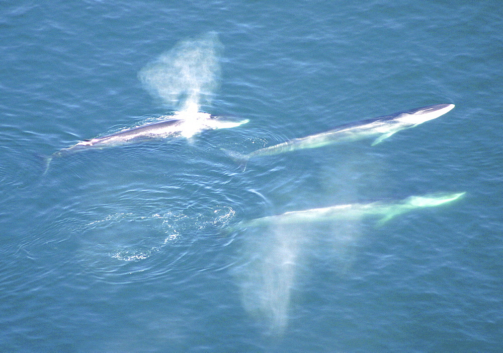 Aerial view of Fin whales (Balaenoptera physalus) surfacing. Gulf of Maine, USA    (rr) - 947-30