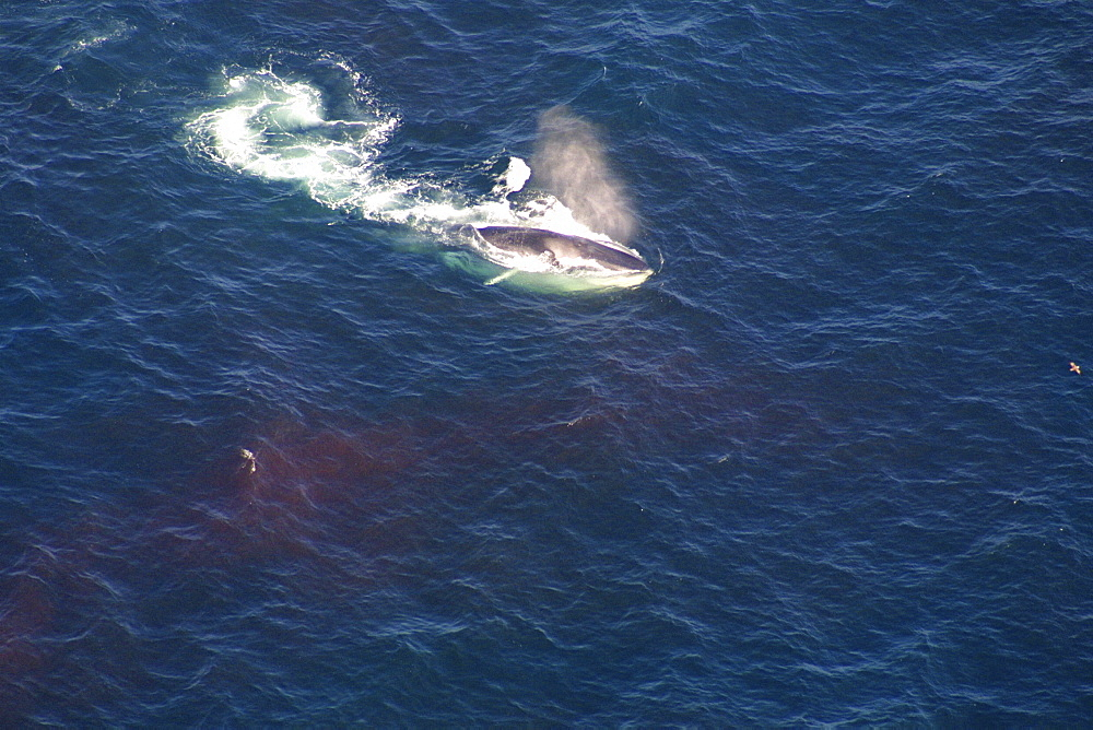 Aerial view of Fin whale (Balaenoptera physalus) surfacing. Gulf of Maine, USA    (rr) - 947-31