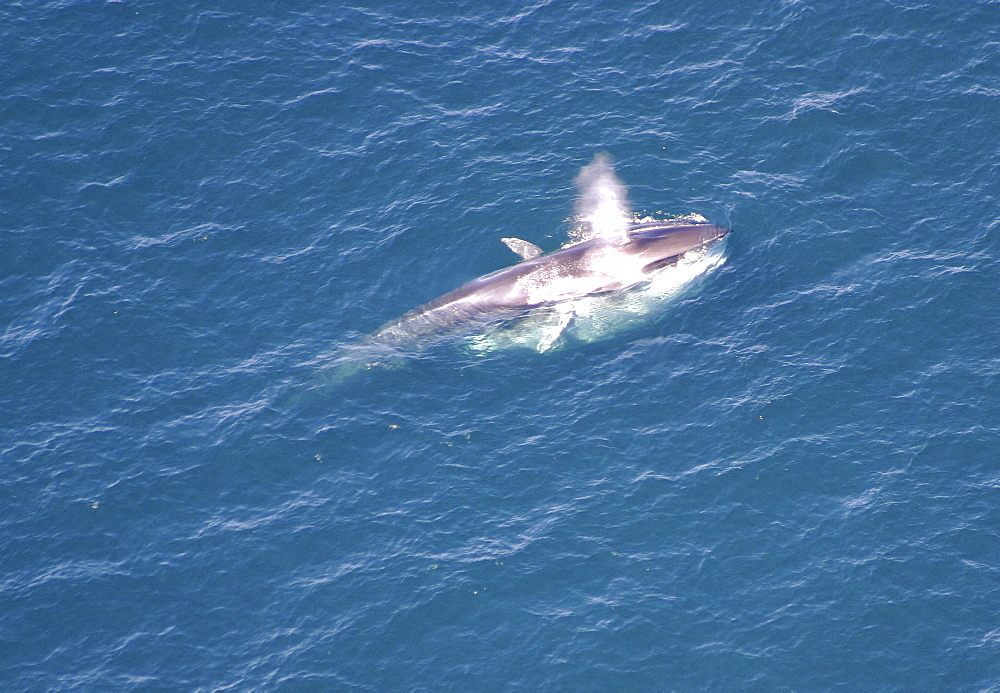 Aerial view of Fin whale (Balaenoptera physalus) surfacing. Gulf of Maine, USA    (rr) - 947-33