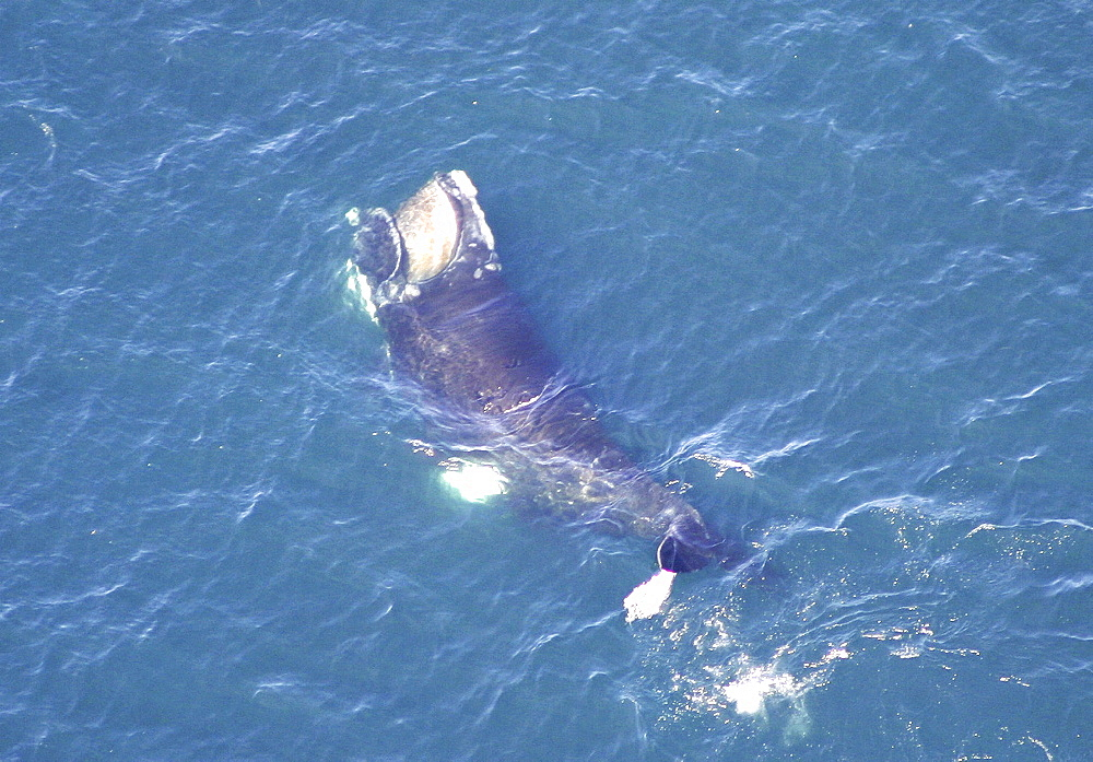 Aerial view of Northern right whale (Balaena glacialis glacialis) surfacing. Gulf of Maine, USA.   (rr) - 947-35