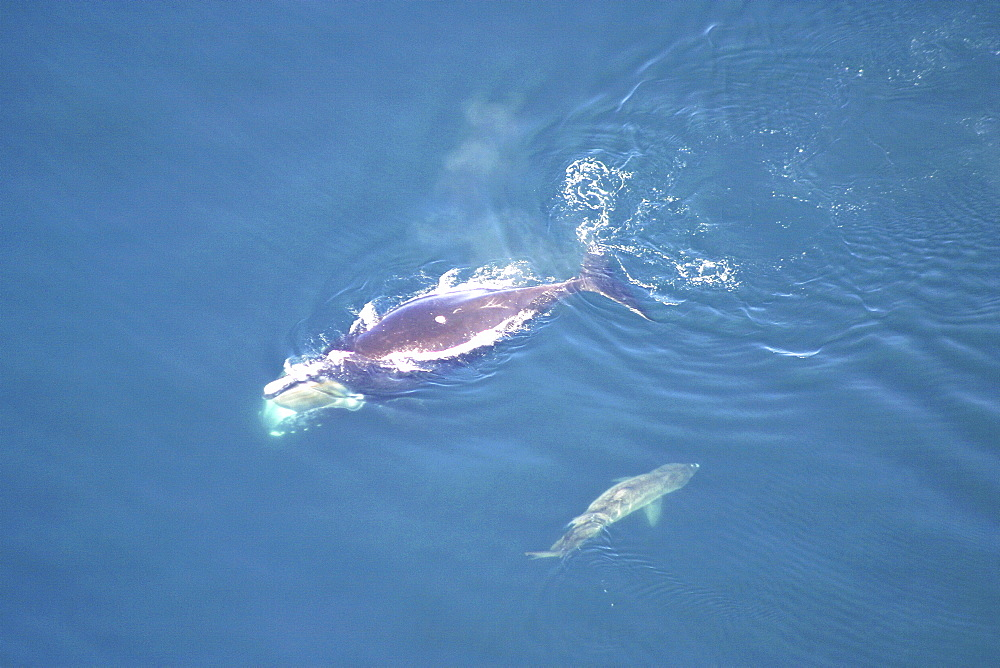 Aerial view of Northern right whale (Balaena glacialis glacialis) surfacing. Gulf of Maine, USA.   (rr) - 947-37