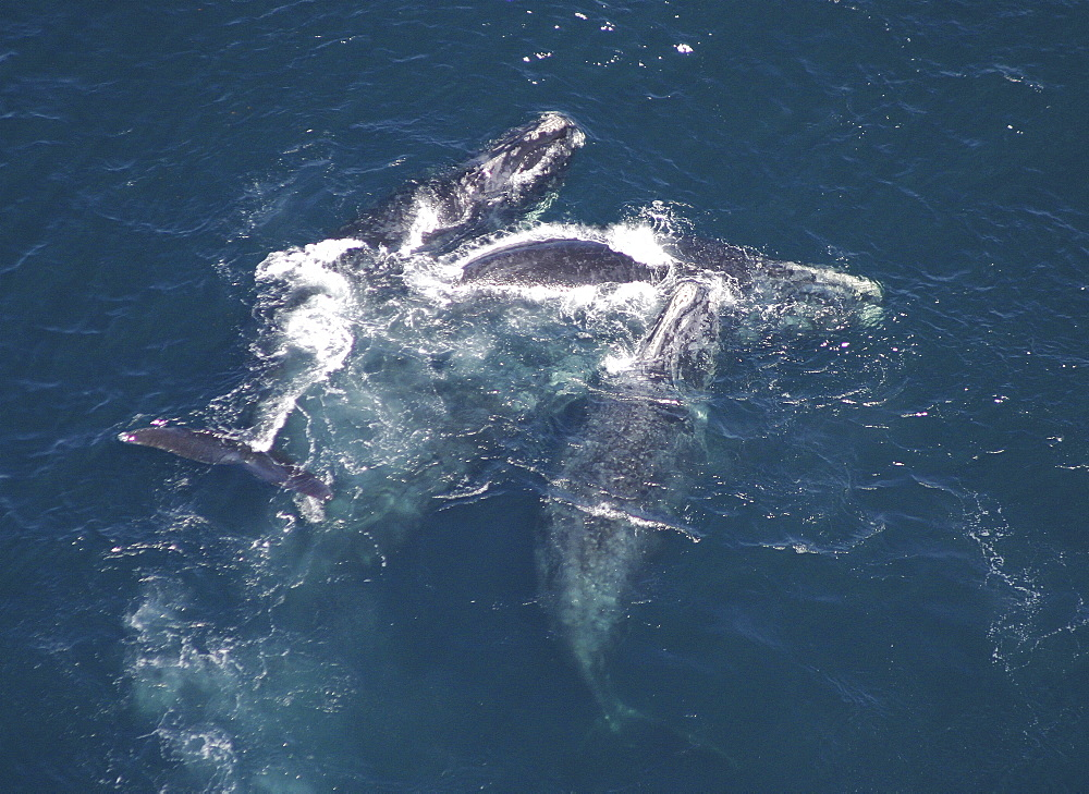 Aerial view of Northern right whales (Balaena glacialis glacialis). Males courting a female. Gulf of Maine, USA.   (rr) - 947-39