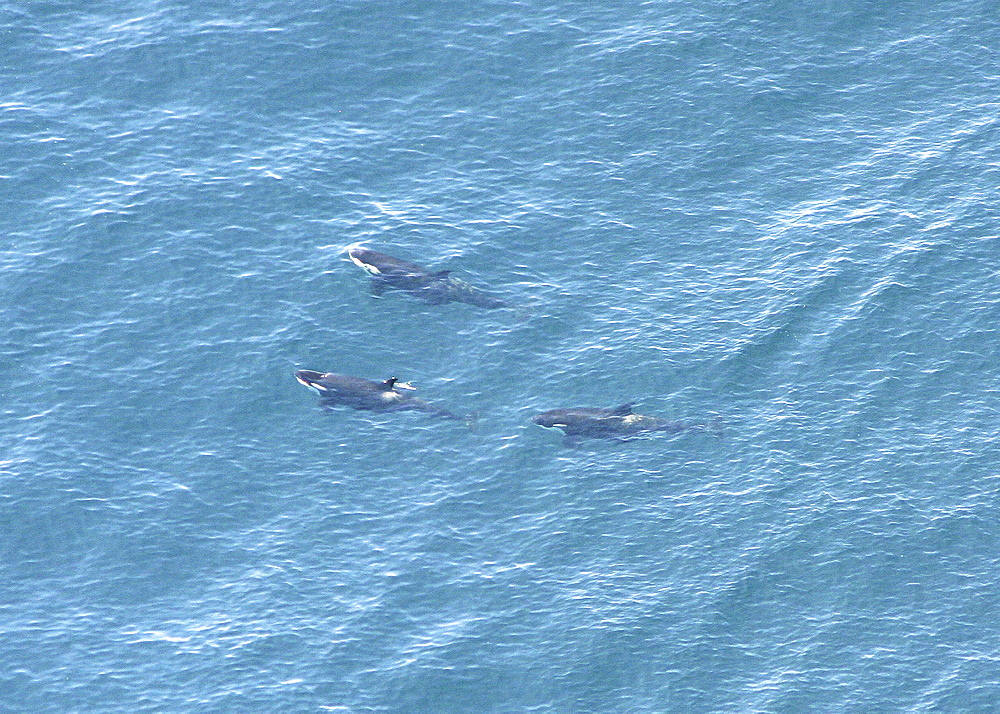 Aerial view of a pod of Killer whales (Orcinus orca). Gulf of Maine, USA    (rr) - 947-4
