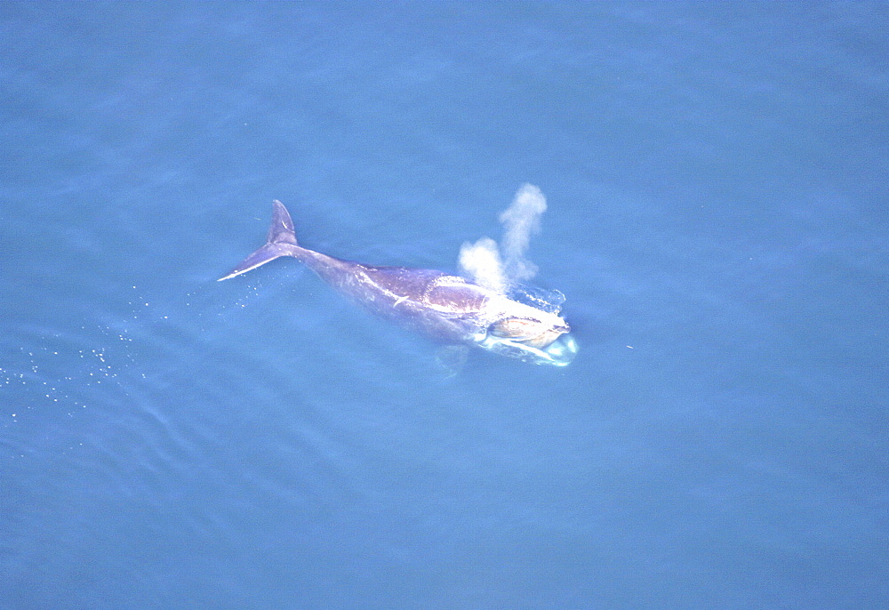 Aerial view of Northern right whale (Balaena glacialis glacialis) surfacing. Gulf of Maine, USA.   (rr) - 947-44